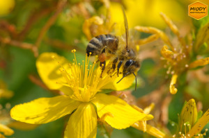 pszczola na dziurawcu