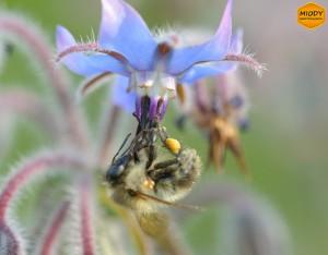 pszczola na ogoreczniku